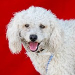 Snowball is a poodle mix in urgent need of a loving home.