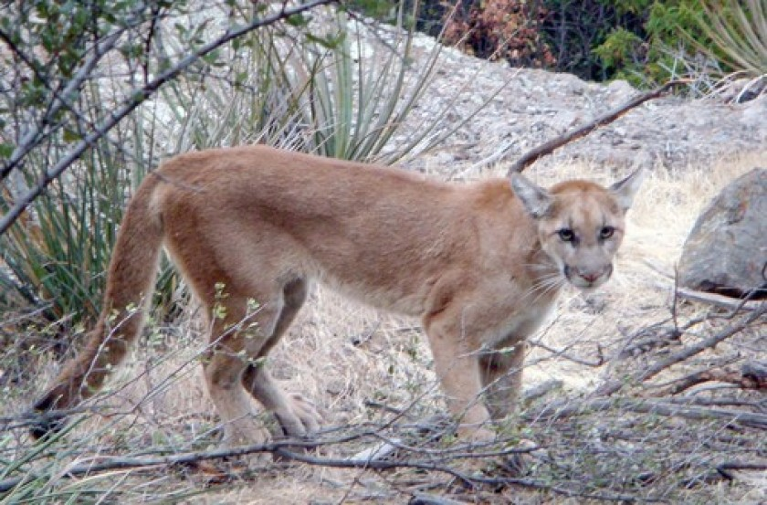 First tracked mountain lion crosses the 405 Freeway in big moment for wildlife preservation