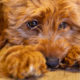 """Labradoodle creator calls the dog breed his """"life's regret"""""""