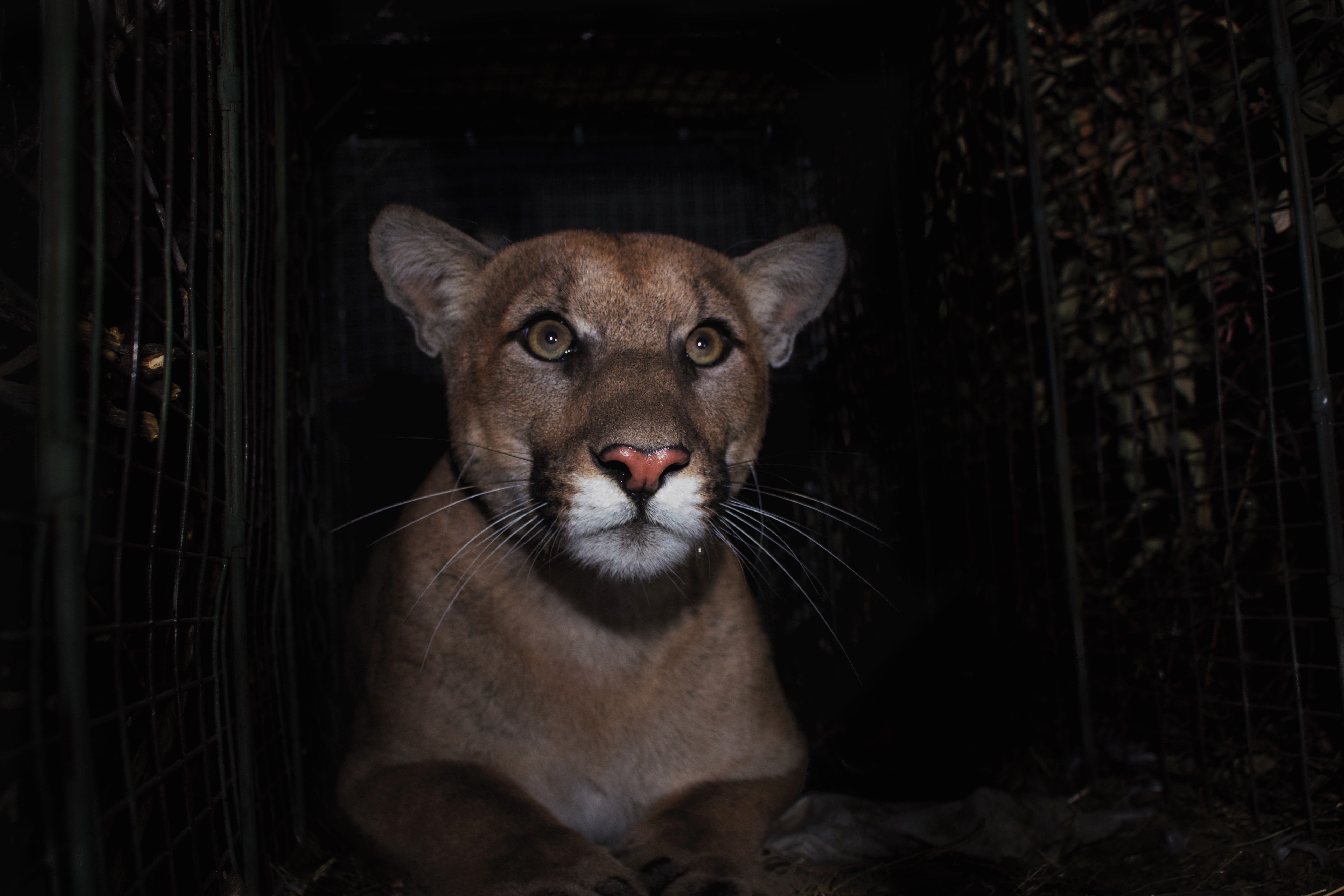 California must act to protect mountain lions