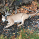 2 Lions Die After Ingesting Rat Poison In Santa Monica Mountains